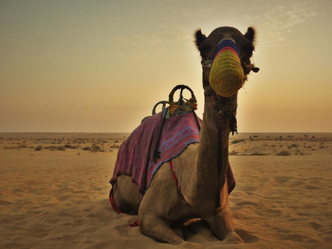 Chameau - désert de Dubaï